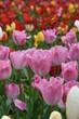 Crimea, Nikitsky botanical garden, tulips - 171922633