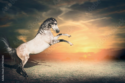 Beautiful gray horse stallion rises from the ground on its two front legs first at sunset sky background