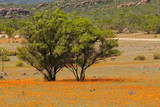 Landscape with colorful wild flowers and tree, Namaqua National Park, South Africa.