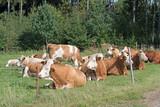 Kühe, Rinder, Cows, Mittagsruhe - 171929602