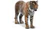 Tiger (3d)