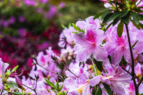 Aluminium Azalea The azalea flowers is blossoming in spring