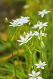 Ornithogalum flowers closeup (Star of Bethlehem)
