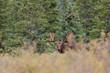 Alaska Yukon Bull Moose in Velvet