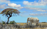 Landscape of an african elephant walking across the  African plains towards an acacia Tree, Etosha, Namibia - 171969068