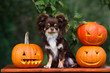beautiful chihuahua dog posing with carved Halloween pumpkins