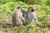 Affenfamilie in Tansania - 171970604