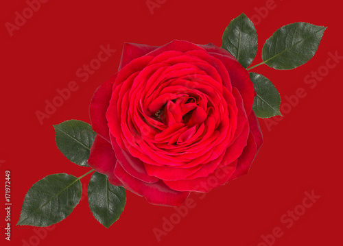Fotobehang Planten red rose isolated on red background with leaves