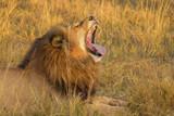 Male lion, Botswana, Africa