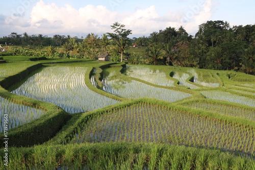 Papiers peints Pistache Rizières Ubud Bali