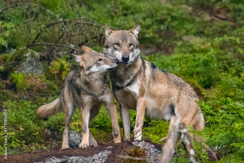 Fotobehang Wolf The gray wolf or grey wolf (Canis lupus) standing on a rock