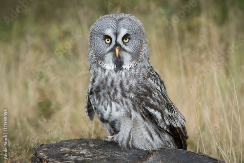 A full length portrait of a great grey owl perched on a tree stump staring forwa Poster