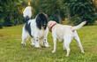 Beautiful newfoundland and labrador retriever dog in the park.