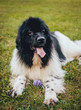 Beautiful newfoundland dog in the park.
