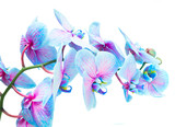stem of blue and violet fresh orchid flowers isolated on white background