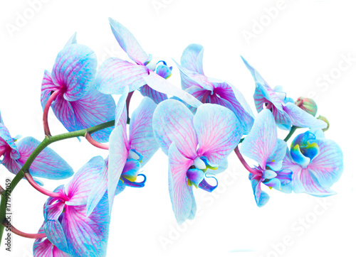 Fototapeta stem of blue and violet fresh orchid flowers isolated on white background
