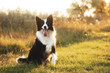 border collie dog walk in the park