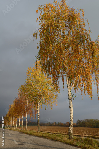 Fototapeta Golden birches in the fall by the road with overcast sky