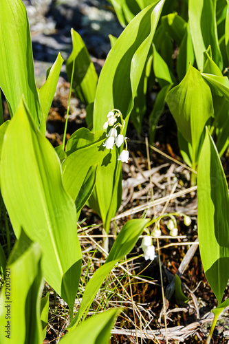 Fotobehang Lelietjes van dalen Flowering lily of the valley