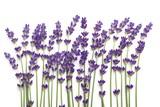 Lavender. - 172003663