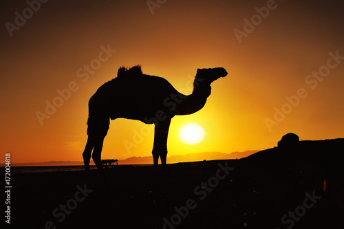 Plexiglas Kameel Sunrise and camel in Dahab, Egypt