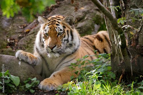 Syberyjskiego tygrysa panthera Tigris altaica w zoo