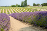 Rows of lavender - 172016899