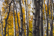 Kebler Pass, CO Aspen Changing Color Gold, Autumn
