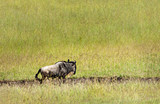 Lone Wildebeest - 172031869