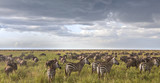 Zebras In The Wildebeest Herd