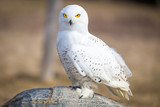 snowy owl closeup - 172032400