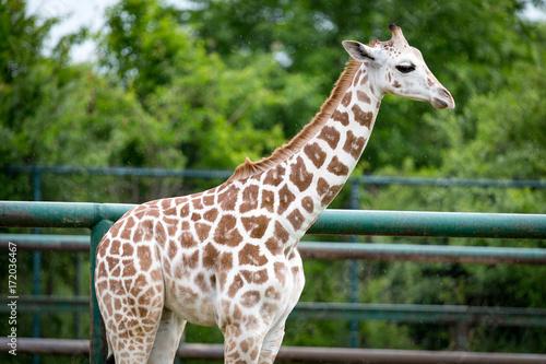 Fridge magnet Giraffe eating grass