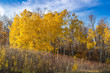 Yellow fall trees with blue sky in the background