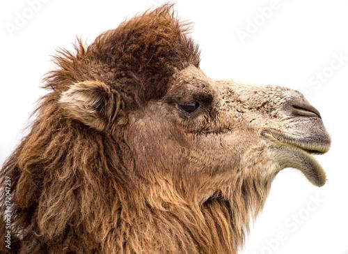 Fotobehang Kameel Portrait of a camel on a white background