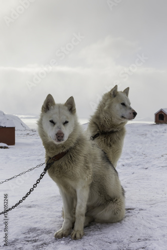 Husky of Greenland Poster