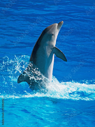 Fotobehang Dolfijn Dolphin having fun in clear blue sea. Place for text.