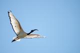 Australian white ibis flying. Threskiornis molucca. - 172083003