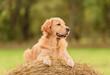 Beauty Golden Retriever dog on the hay bale