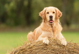 Beauty Golden Retriever dog on the hay bale - 172084611