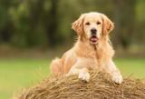 Beauty Golden Retriever dog on the hay bale - 172084611