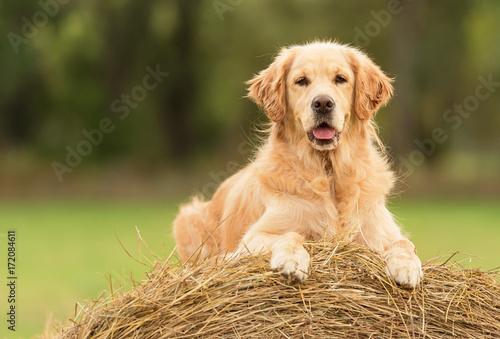 Fototapeta Beauty Golden Retriever dog on the hay bale
