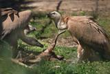 Vultures and deer head - 172096254