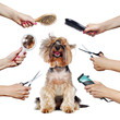 Yorkshire Terrier puppy surrounded by hands holding groomer tools