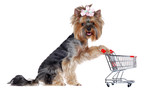 Yorkshire Terrier puppy with a shopping trolley on whote background looking into the camera - 172109857