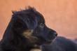 Side looking black little puppy portrait