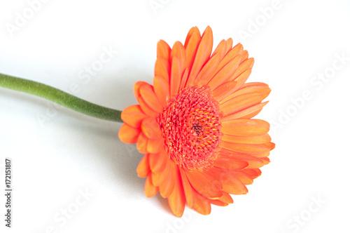 Aluminium Gerbera gerbera orange sur fond blanc