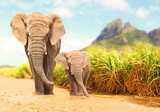 African Bush Elephants - Loxodonta africana family walking on the road in wildlife reserve. Greeting from Africa. - 172172093