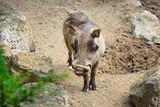 Common warthog (Phacochoerus africanus). Front view - 172175698