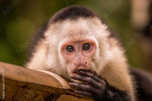 Fotobehang Aap Portrait eines jungen Kapuziners der sich die Hand vor den Mund hällt