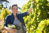 Portrait of happy vintner harvesting grapes in vineyard - 172192649